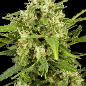 Dinafem Critical + Automatic female Seeds