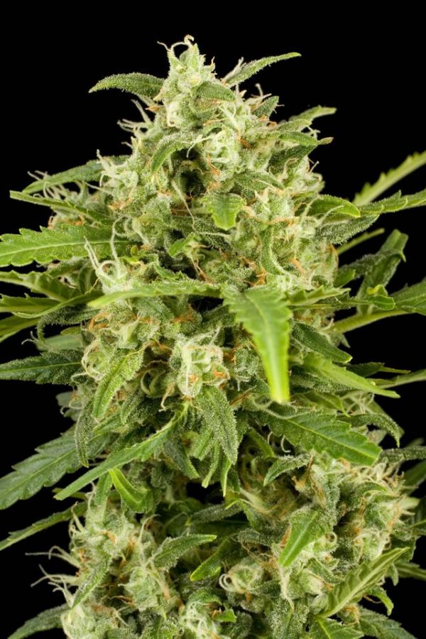 Dinafem Critical + Automatic female Seeds