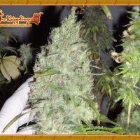 Dr Krippling Seeds The Incredible Bulk