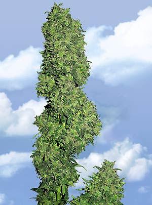 Flying Dutchmen Dame Blanche female Seeds