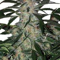 Buddha Seeds Deimos Auto female Seeds