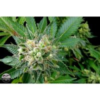 Dinafem Diesel female Seeds