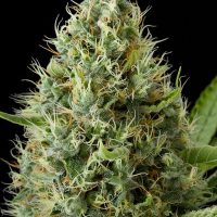 Dinafem Dinamex female Seeds