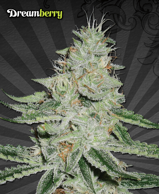 Auto Seeds Dream Berry