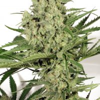 Dutch Passion Dutch Cheese female Seeds