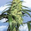 Flying Dutchmen Blueberry Skunk female Seeds
