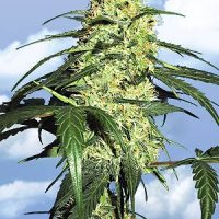 Flying Dutchmen Dutch Delight female Seeds