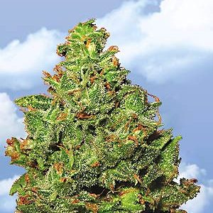 Flying Dutchmen Edelweiss female Seeds