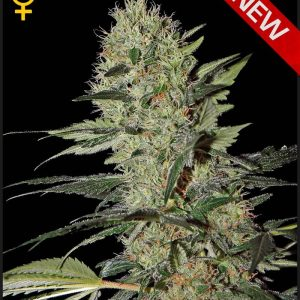 Greenhouse Seed Co. Exodus Cheese AUTO female Seeds