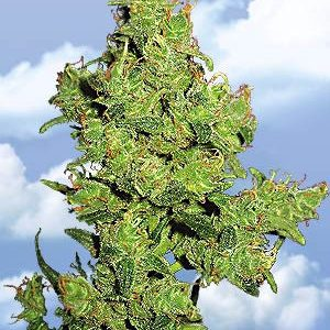 Flying Dutchmen Flying Dragon female Seeds