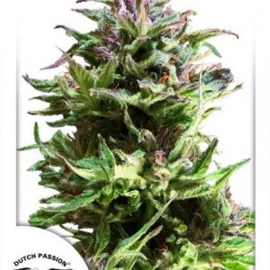 Dutch Passion Forest Dream female Seeds