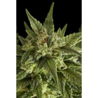 Dinafem Fruit Automatic female Seeds
