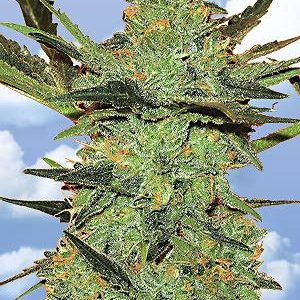 Flying Dutchmen G-Force female Seeds