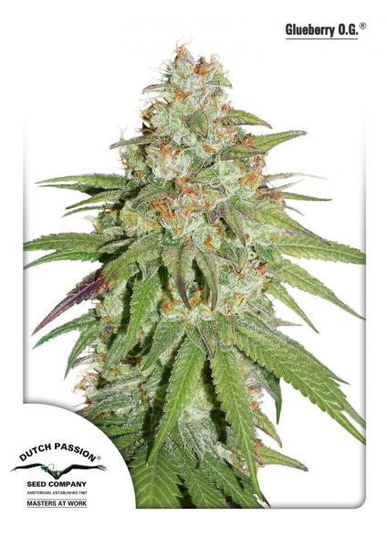 Dutch Passion Glueberry O.G female Seeds