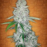Fast Buds Gorilla Glue auto female seeds
