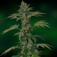 Barney's FarmGrape Muerto Auto female Seeds