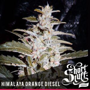 shortstuff seeds Himalaya Orange Diesel female