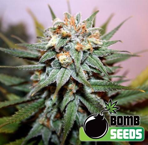 Bomb Seeds Hash Bomb