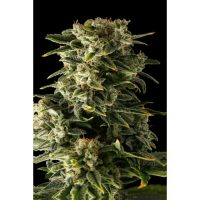 Dinafem Haze Automatic female Seeds