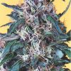 Dutch Passion Frisian Dew female Seeds