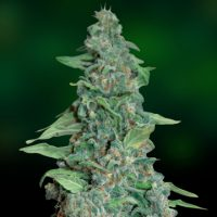Barney's Farm Honey B female Seeds