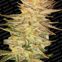 Paradise Seeds Ice Cream female
