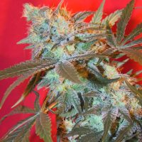 Female seeds company ICED White Widow female Seeds