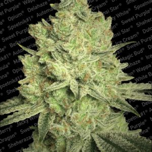 Paradise Seeds Jacky White female