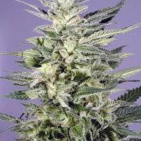 Dutch Passion Jorge's Diamond female Seeds