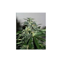 KC Brains Mango female Seeds