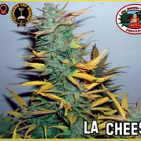 Big Buddha Seeds L.A. Cheese female Seeds