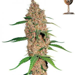 Barney's Farm Laughing Buddha female Seeds