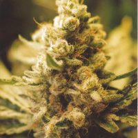 Female seeds company Lemon Kush female Seeds