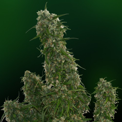 Barney's Farm Malana Bomb Auto female Seeds