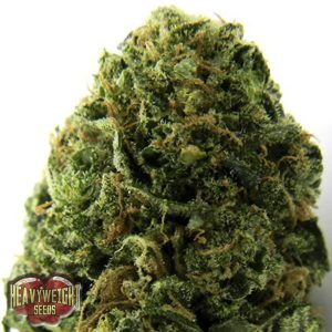 Heavyweight Seeds Auto Massive Midget female Seeds