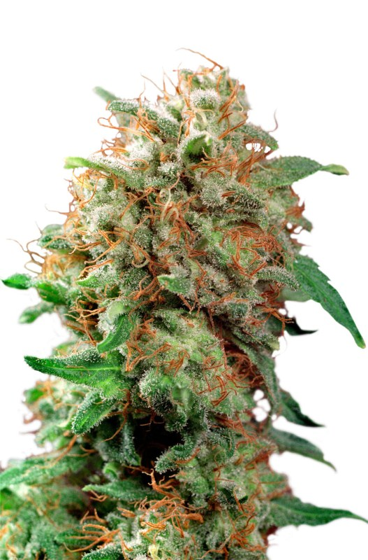 Dutch Passion Mazar female Seeds