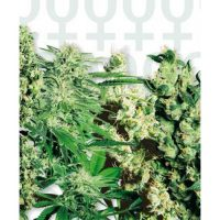 Sensi Seeds Mixed female Seeds