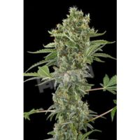 Dinafem Moby Dick Automatic female Seeds