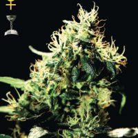 Greenhouse Seed Co. NL5 Haze Mist female Seeds