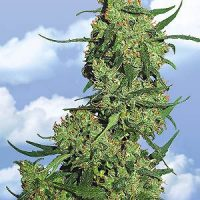 Flying Dutchmen Nepal Kush female Seeds
