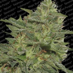Paradise Seeds Original Cheese female