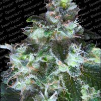 Paradise Seeds Original White Widow female