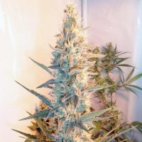 Female seeds company Outdoor Grapefruit female Seeds