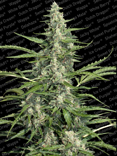 Paradise Seeds Pandora Automatic female
