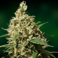 Barney's Farm Peppermint Kush female Seeds