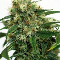 Barney's Farm Phatt Fruity female Seeds