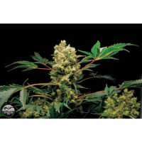Dinafem Power Kush female Seeds