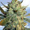 Flying Dutchmen White Widow female Seeds