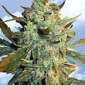 Flying Dutchmen Power Skunk female Seeds