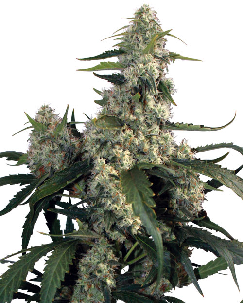 Buddha Seeds Quasar female Seeds